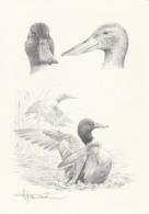 BUZIN. LE CANARD SOUCHET - 1985-.. Birds (Buzin)