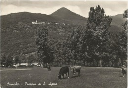 W4712 Cannobio (Verbania) - Frazione Sant'Agata - Panorama - Vacca, Mucca, Cow, Koe, Vache, Vaca / Viaggiata 1950 - Italien