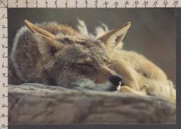89867GF/ FAUNE D'AMERIQUE, Canada, Coyote - Animali