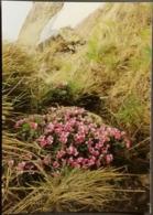 Ak Tschechien - Blumen Aus Dem Riesengebirge - Roter - Steinbrech - Blumen