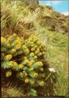 Ak Tschechien - Blumen Aus Dem Riesengebirge - Rosenwurz - Blumen