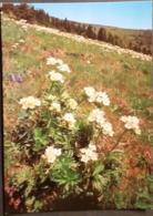 Ak Tschechien - Blumen Aus Dem Riesengebirge - Narzissen Windröschen - Blumen