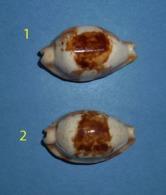 Cypraea Stolida Crossei Niger New Caledonia N°2 - Coquillages