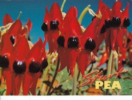 AK Sturt Pea Australia (43496) - Blumen