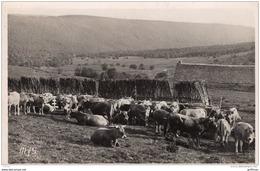 PATURAGES DANS L'AUBRAC CPSM 9X14 1954 TBE - Francia
