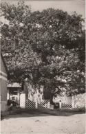 Boma - L\'arbre De Stanley - Congo - Kinshasa (ex Zaire)