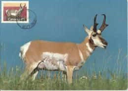 Carte Maximum - Canada - Antilope D'Amerique - Pronghorn Buck - Maximumkaarten