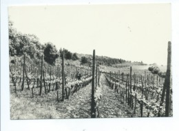 Torgny Vignoble La Provence Belge - Rouvroy