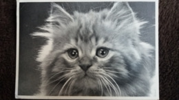CPM CHAT GROS PLAN DIE KATZEN SUSY CARDS CH 855 - Gatti