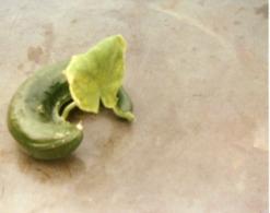 2 Foto Von Gurke Mit Blatt - Fehler Besonderheit Absonderlich Abnormal Abart Gemüse Lustig - Botanik