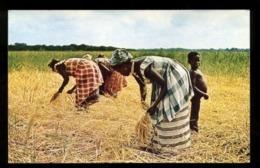 C2118 SIERRA LEONE - HARVESTING SWAMP RICE AFRICAN FOLKLORE ETHNICS COSTUMES PEOPLE - Sierra Leone