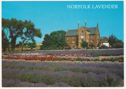LAVENDER FIELD AT HEACHAM, KING'S LYNN, NORFOLK. UNPOSTED - Angleterre