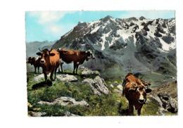 Cpm - Dans Les Alpes - Au Sommet De L'Alpage - PP 3 Cim - 1966 - Vaches Vache Cloche - Cows
