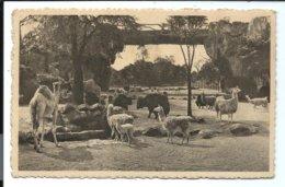 Anvers Jardin Zoologique - Grand Parc Des Ruminats - Dromadaire - Lama ... VENTE DIRECTE X - Antwerpen