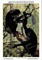 Le Chimpanzé Nain - Belgique - Muséum Des Sciences Naturelles (Illustrateur L. Henderycky) (Recto-Verso) - Singes