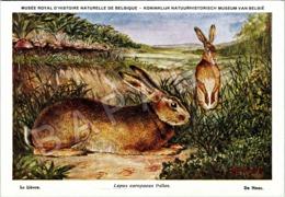 Le Lièvre - Belgique - Muséum Des Sciences Naturelles (Illustrateur L. Henderycky) (Recto-Verso) - Autres