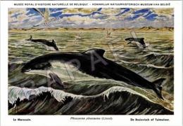 Le Marsouin - Belgique - Muséum Des Sciences Naturelles (Illustrateur L. Henderycky) (Recto-Verso) - Autres