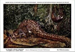 Le Pangolin Africain Arboricole (b) - Belgique - Muséum Des Sciences Naturelles (Illustrateur L. Henderycky) (Recto-Vers - Autres