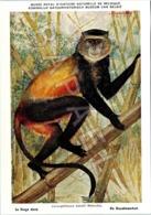 Le Singe Doré - Belgique - Muséum Des Sciences Naturelles (Illustrateur L. Henderycky) (Recto-Verso) - Singes