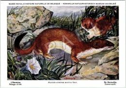 L'Hermine (Été) - Belgique - Muséum Des Sciences Naturelles (Illustrateur L. Henderycky) (Recto-Verso) - Animaux & Faune