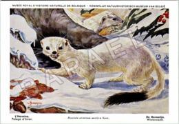 L'Hermine (Hiver) - Belgique - Muséum Des Sciences Naturelles (Illustrateur L. Henderycky) (Recto-Verso) - Animaux & Faune