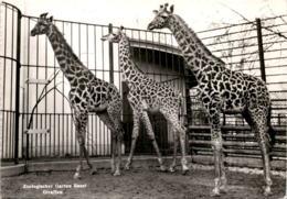 Zoologischer Garten Basel - Giraffen * 14. 5. 1961 - BS Bâle-Ville