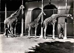 Zoologischer Garten Basel - Giraffen (656) * 4. 3. 1960 - BS Bâle-Ville