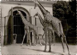 Zoologischer Garten Basel - Giraffen (638) * 1. 3. 1953 - BS Bâle-Ville