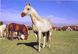 Animals, Horses, Pferde, Konie, Cheval, Cavalli, Poland, - Cavalli