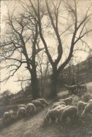 Paesaggio Collinare Con Pastorella E Gregge Pecore, Posta Militare 111, Visto X Censura (29) - Agricoltura