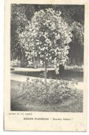 92- Hauts-de-Seine Chatenay Rosier Pleureur Dorothy Perkins - Pépinières CROUX Et Fils - Chatenay Malabry