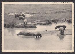 89850/ FAUNE D'AFRIQUE, Hippopotames Et Oies D'Egypte, Congo, Parc National Albert - Animali