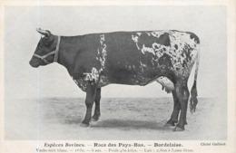 ESPÈCES BOVINES - Race Des Pays-bas, Bordelaise,vache Noir Blanc. - Elevage