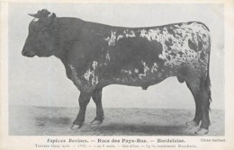 ESPÈCES BOVINES - Race Des Pays-bas, Bordelaise,taureau Noir Blanc. - Elevage