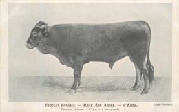 ESPÈCES BOVINES -  Race Des Alpes, D'aure, Taureau Châtain. - Elevage