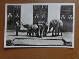 Zoo Van Antwerpen (Dierentuin): Afrikaanse En Indische Olifanten Met Verzorger --> Onbeschreven - Antwerpen