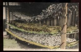 C2173 SILK WORMS SPIUMING COCOONS ON TWIGS  - COLTURA BACHI DA SETA - Allevamenti