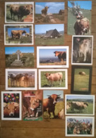 Lot De 16 Cartes Postales / VACHES / AUBRAC Cantal - Cows