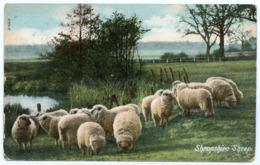 FARMS : SHROPSHIRE SHEEP - Breeding