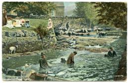 FARMS : SHEEP WASHING / SHEEP DIP - TUCK'S FARM LIFE (RAPHOLETTE) - Breeding