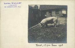 ELEVAGE DE COCHONS - Lucien Wallet,à Gannes Par Ansauvillers (oise) ,Verrat,1er Prix Evreux 1903,carte Photo. - Elevage