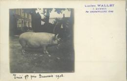 ELEVAGE DE COCHONS - Lucien Wallet,à Gannes Par Ansauvillers (oise) ,truie 1er Prix Beauvais 1902,carte Photo. - Elevage