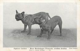 ESPÈCES CANINES - Race Bouledogue Français, Oreilles Droites. - Cani