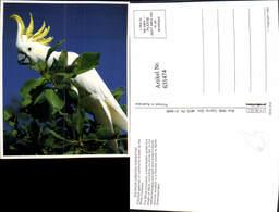 631474,Sulphur Crested Cockatoo Cacatua Galerita Kakadus Vogel Tiere - Vögel