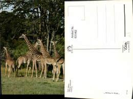 631462,East Africa African Wildlife Giraffes Giraffen Tiere - Tierwelt & Fauna