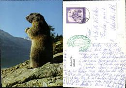 631460,Murmeltier Marmotte Marmot Tiere - Tierwelt & Fauna