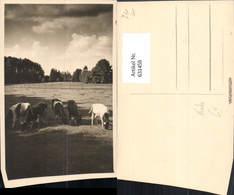 631459,Foto Ak Kühe Rinder Auf Weide Tiere - Kühe