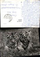 631453,Foto Ak Junge Sibirische Tiger Tiere - Tierwelt & Fauna