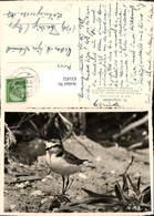 631452,Seeregenpfeifer Vogel Tiere - Vögel