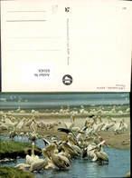 631429,Lake Nakuru Kenya Pelicans Pelikan Tiere - Vögel